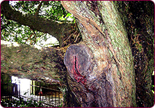 The famous Bleeding Yew at nearby Nevern Church